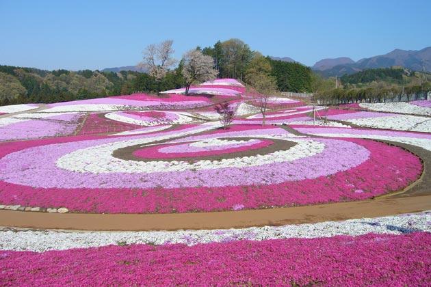 関東の芝桜が楽しめるお祭り・スポット3選(2018年版)