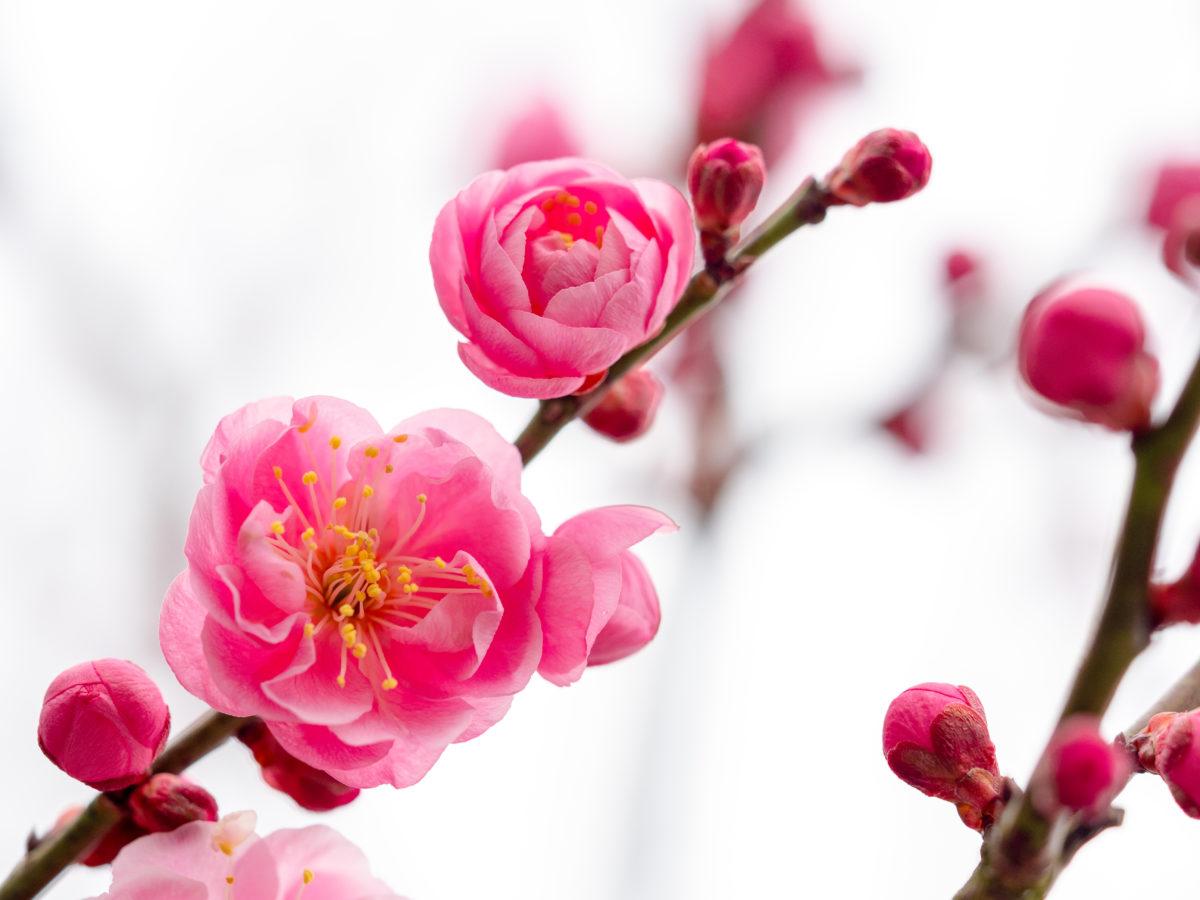 """""""うそ""""は幸運を招く鳥〜亀戸天神社 鷽替え神事〜年に一度しか手に入らない開運お守り"""
