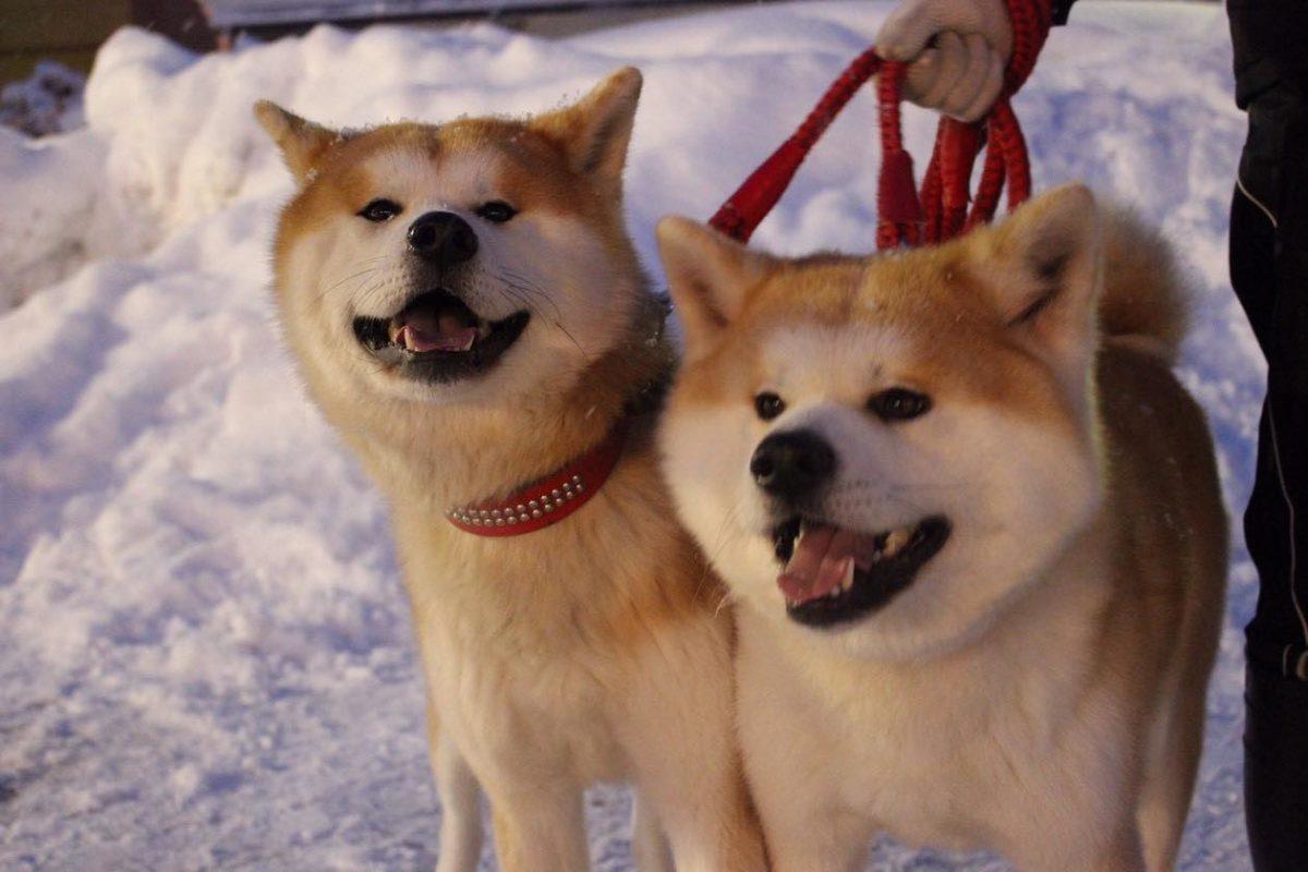 可愛さ爆発「犬っこまつり」が2019年も開催!ザギトワも垂涎間違いなし!秋田より現地のインスタ投稿をご紹介!