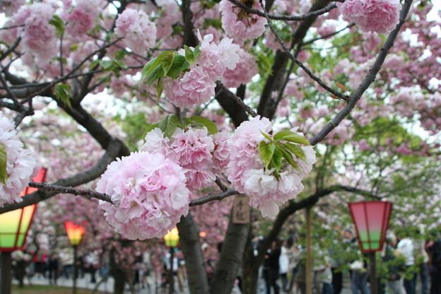 大阪造幣局「桜の通り抜け」でのお花見の楽しみ方をご紹介!