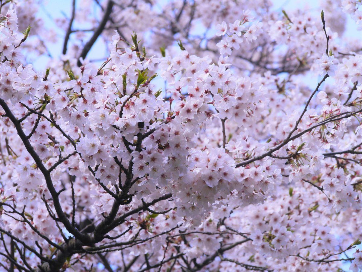 神奈川のお花見スポット5選♪お城も!富士山も!ライトアップも!