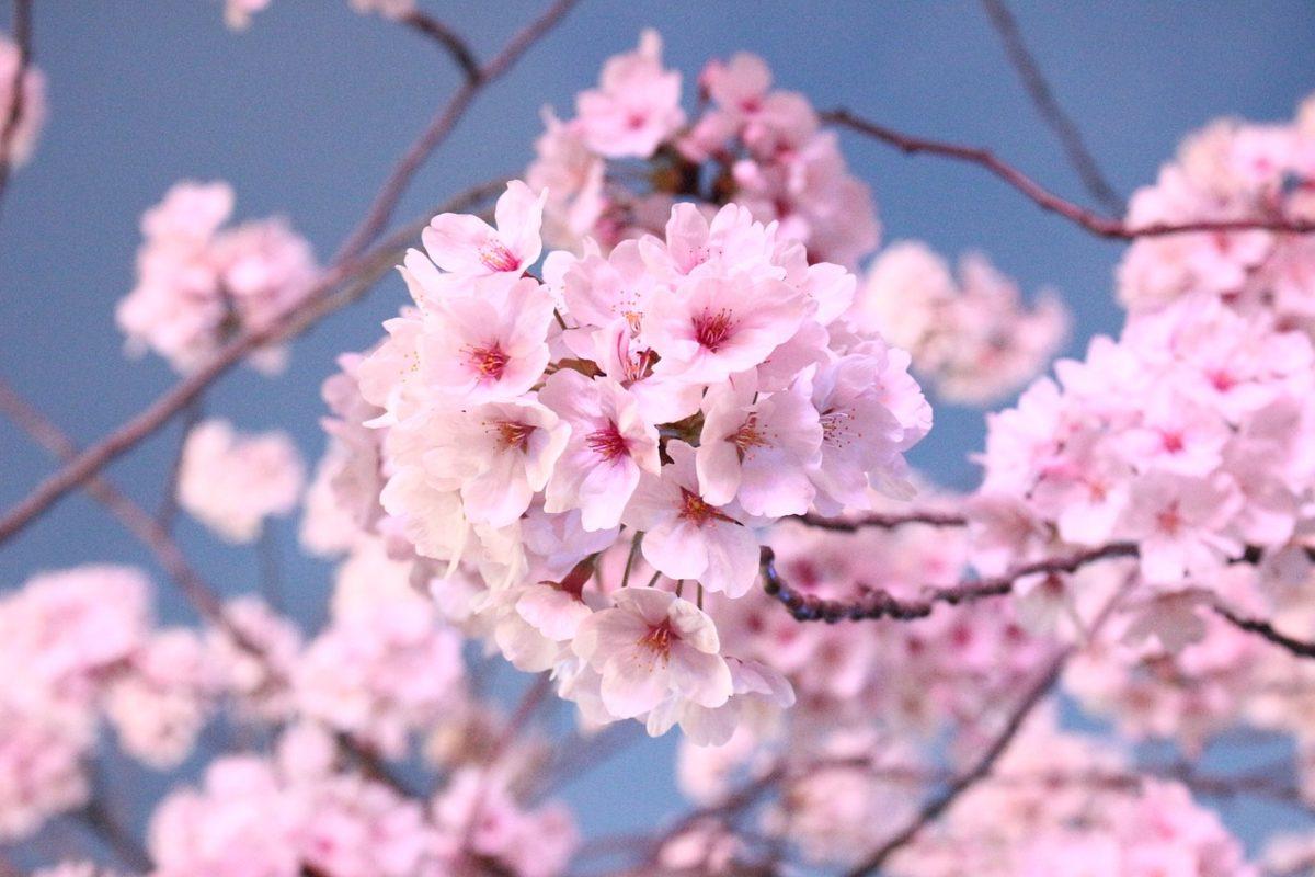 池袋周辺のお花見スポット5選♪ソメイヨシノ発祥の地や夜桜鑑賞も!?