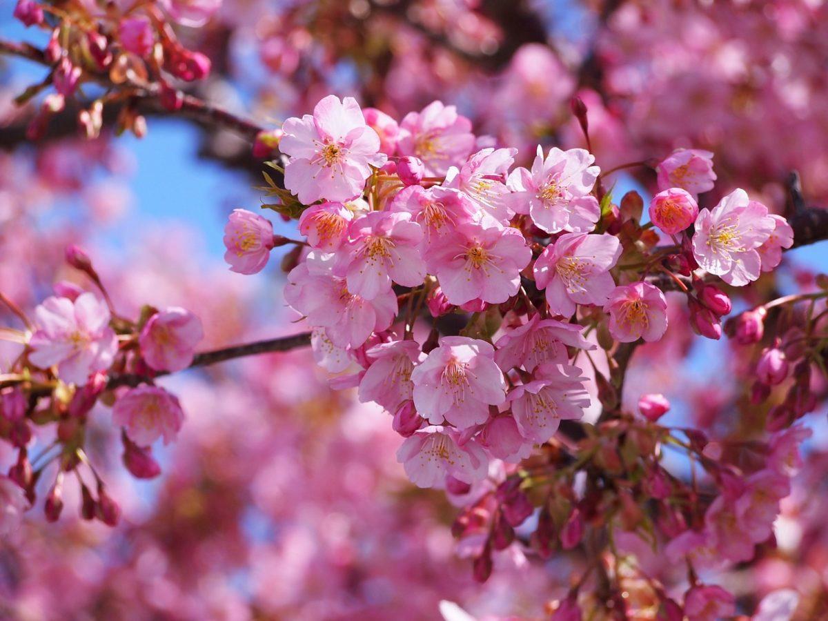 早咲き&満開が長続きする静岡県の河津桜!一足先に満開も。SNS写真一挙大公開です!河津桜まつりは3月上旬まで楽しめます。