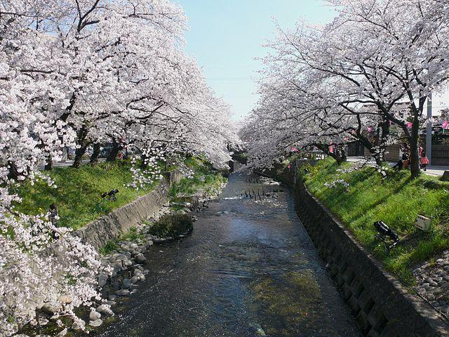 屋台と桜、どっちが多い?「岩倉桜まつり」の見どころ紹介!
