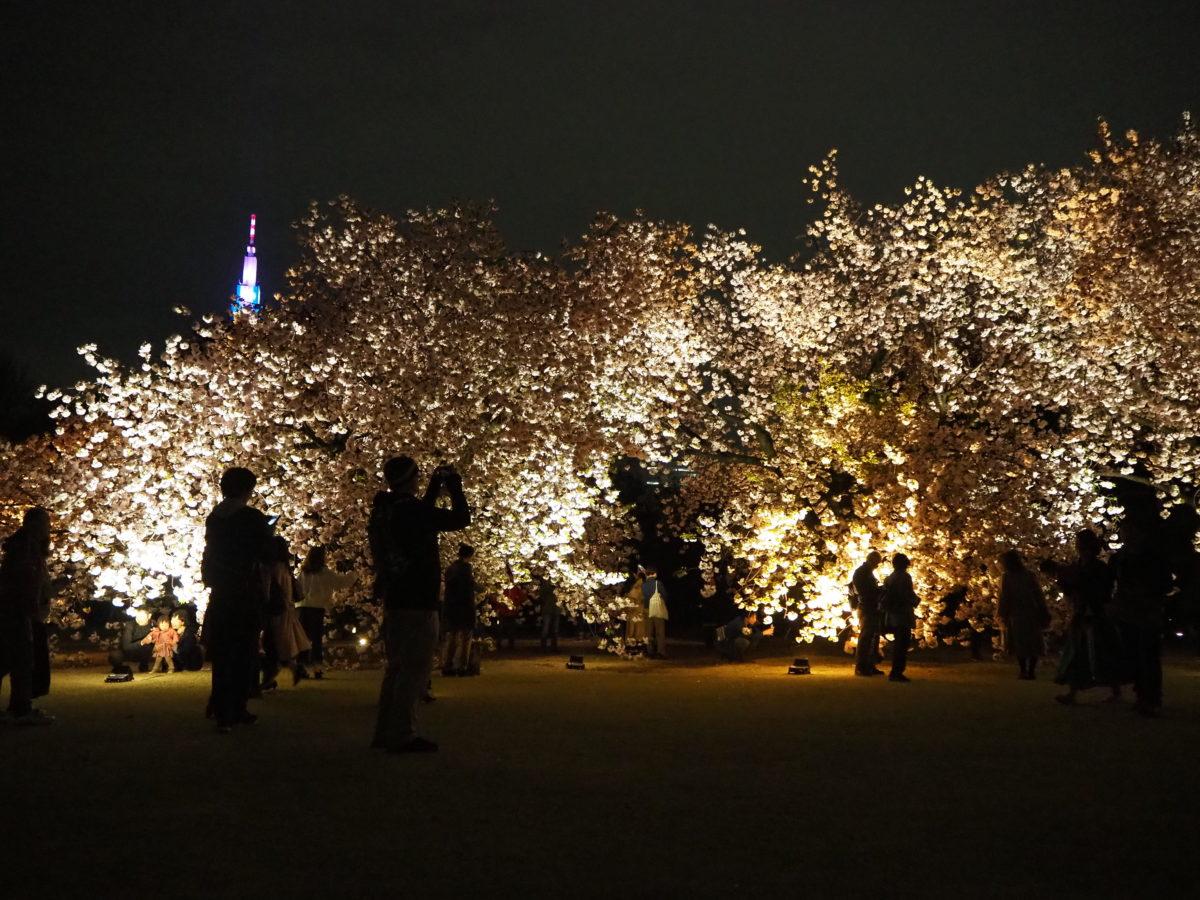 新宿御苑で「八重桜ライトアップ」が2019年4月18日(木)まで開催!映えショットやグルメ情報をご紹介!