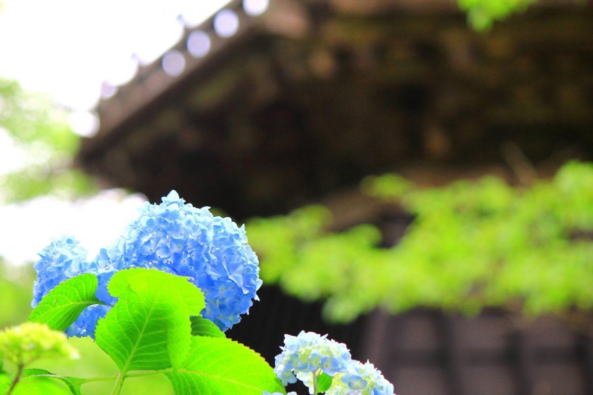 京都のあじさい祭り5選、古都の雰囲気でインスタ映え間違いなし!