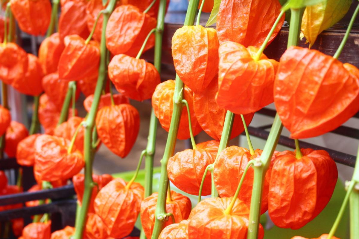 深大寺鬼燈まつりは、浅草に劣らずの人気!大きなほおずきが特徴的