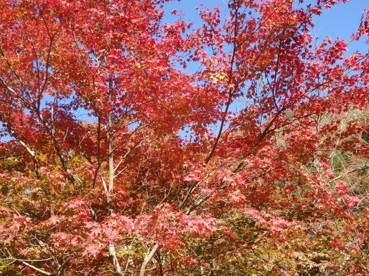 「奥秩父大滝紅葉まつり」、南関東でいち早く秋を先取り
