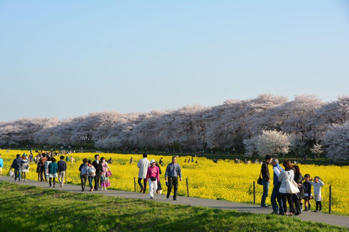 「幸手桜まつり」薄紅色の桜の花と黄色の菜の花の色彩のコントラストで春爛漫の権現堂