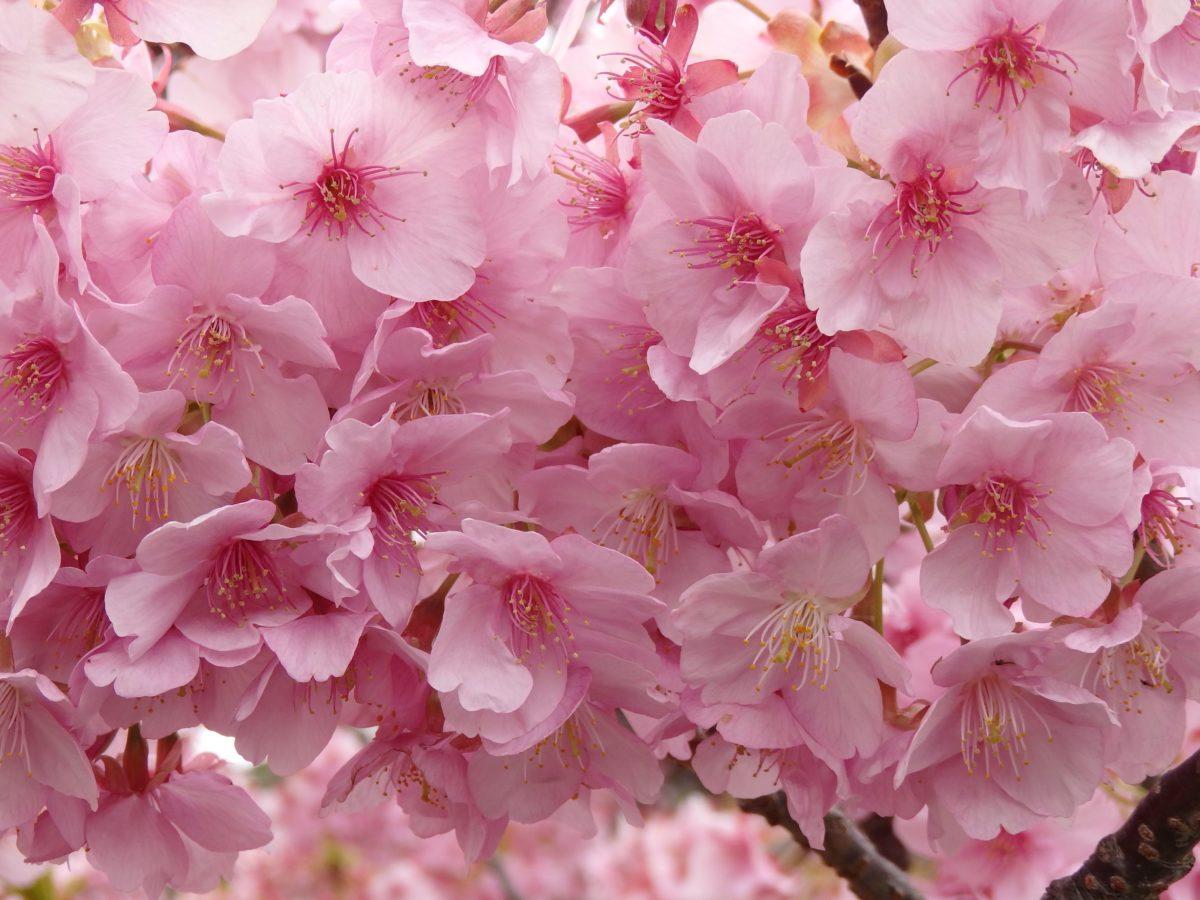 「河津桜まつり」春を待ちきれない人に、近寄る春の訪れを知らせる早咲きの河津桜