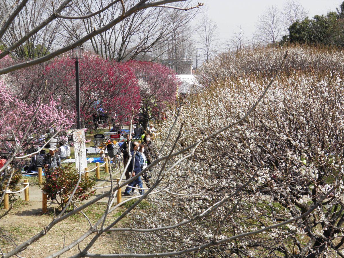 「越谷梅林公園 梅まつり」紅白40品種の梅の花が創り出す絶妙の色彩のコントラスト