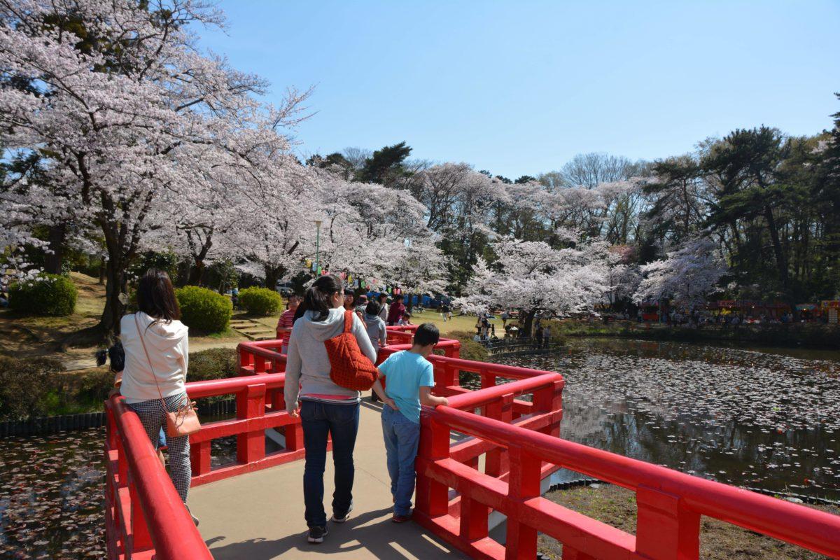 「岩槻城址公園桜まつり」菖蒲池の中央で薄紅色の桜に効果的なアクセントをつける朱色の八ツ橋