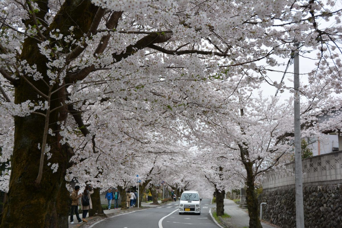 「長瀞桜まつり」月日を変え長瀞の隅々を移動する桜の園