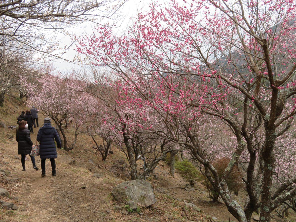 「湯河原梅林梅の宴」温泉街の北部に聳える幕山を季節の彩りで包む約4,000本の梅