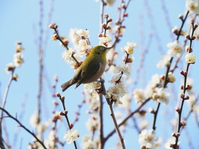 京王百草園で恒例の「梅まつり」が開催