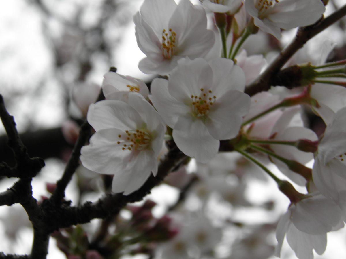 「染井よしの桜まつり」ソメイヨシノ誕生の地に染み渡る江戸時代の植木職人の息遣い
