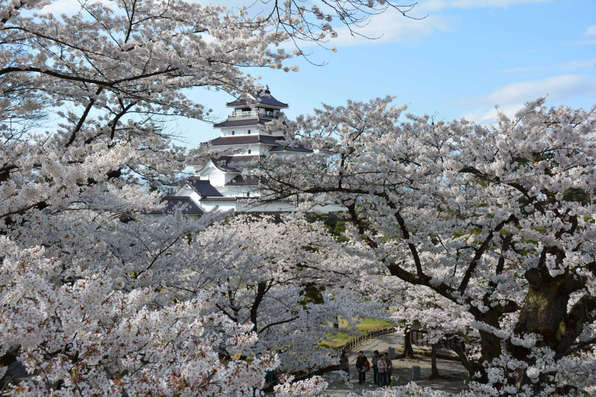 「鶴ヶ城さくらまつり」戊辰戦争で激しい砲撃を受けた天守閣の全周を薄紅色に彩る桜