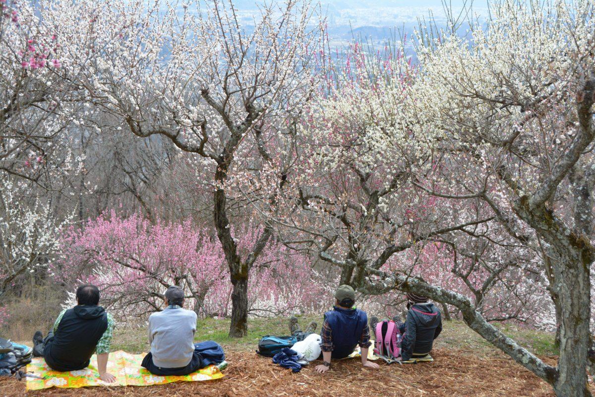 「長瀞宝登山梅まつり」山肌を季節のグラデーションで彩る約170種類の梅