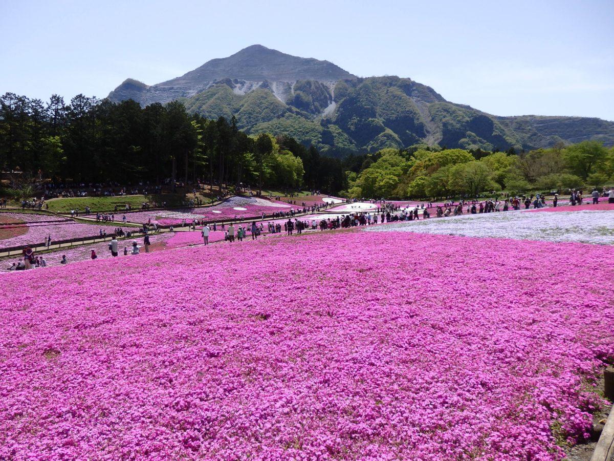 「羊山公園芝桜まつり」ピンクと白の絨毯を敷きつめたような芝桜の丘