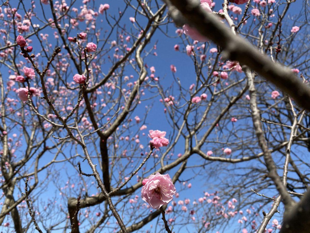 大高緑地花梅まつりで花も団子も映えも手に入れろ!
