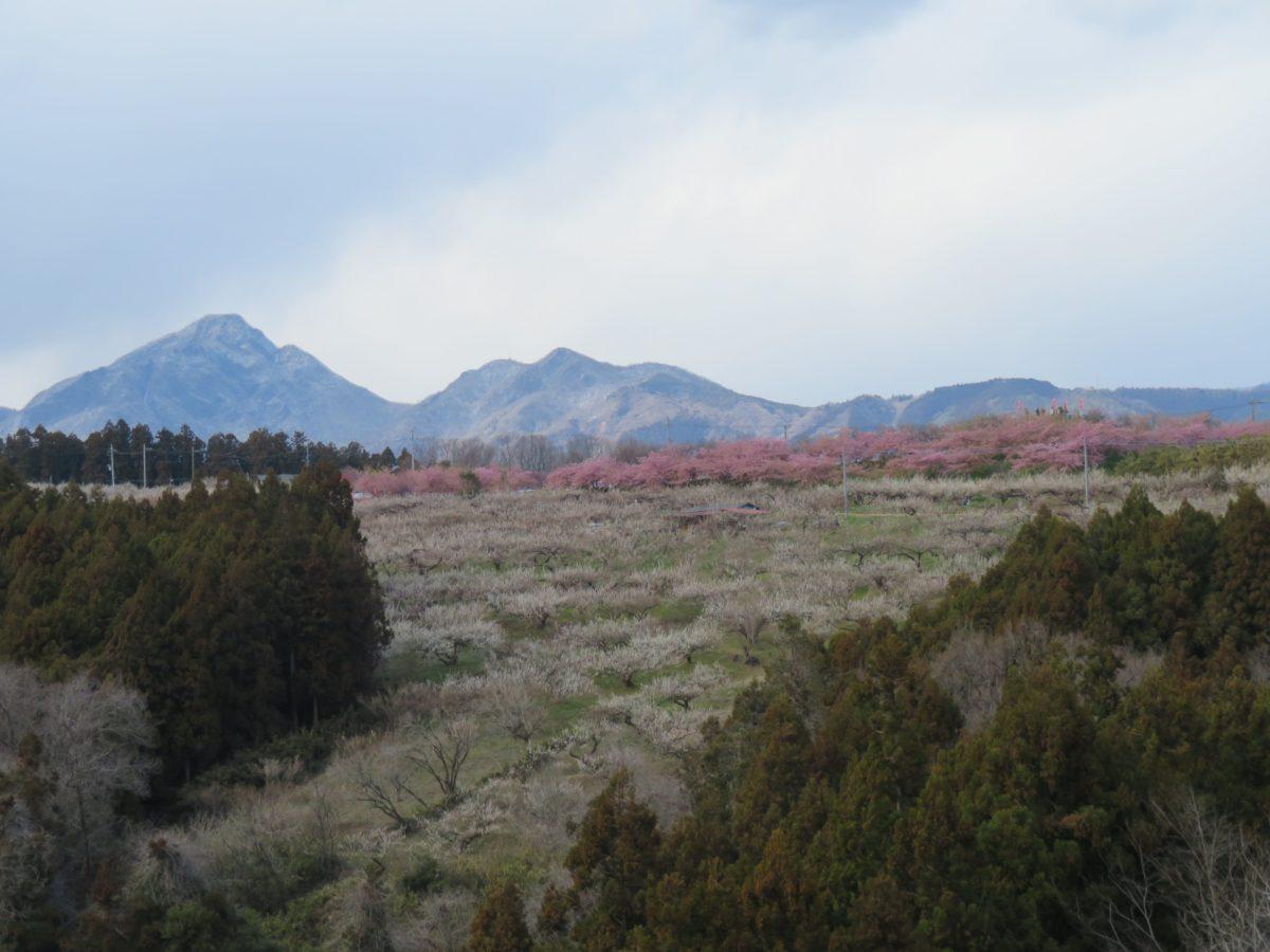 【みさと梅まつり】榛名山の南麓を雲海のように梅花で包む東日本最大級の規模の箕郷梅林