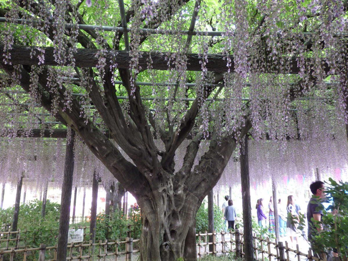 【騎西藤まつり】民家から奉納された大藤が薄紫色に彩る神苑の玉敷公園