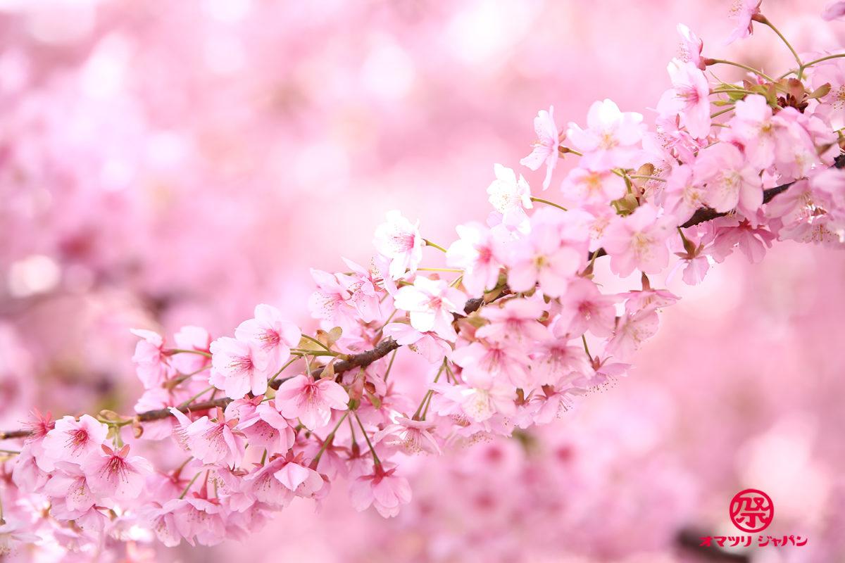 淀水路「河津桜」京都で一番早く咲く桜