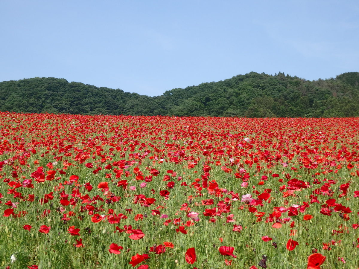【天空のポピー】彩の国ふれあい牧場近くの高原で青空に映える真赤な花