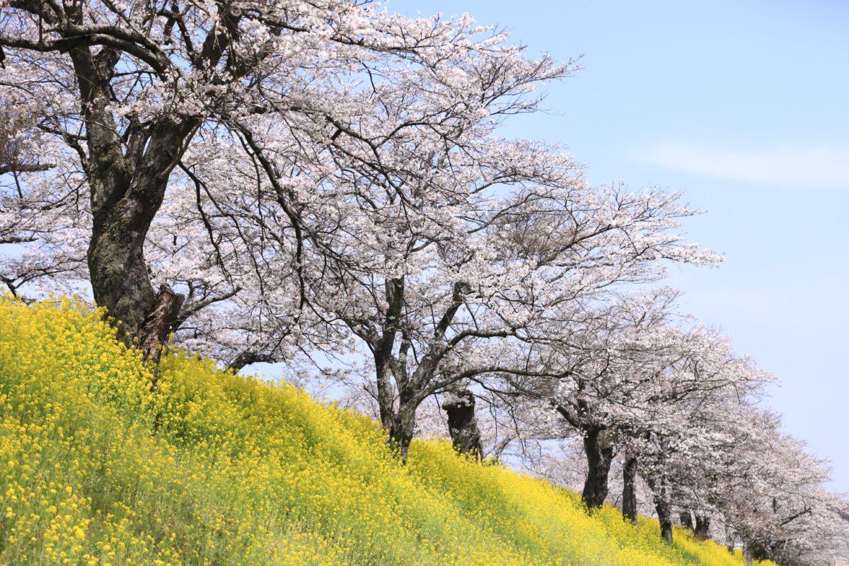 【さくらの桜が待ってます】氏家ゆうゆうパークの桜づつみに行こう!【栃木県さくら市】