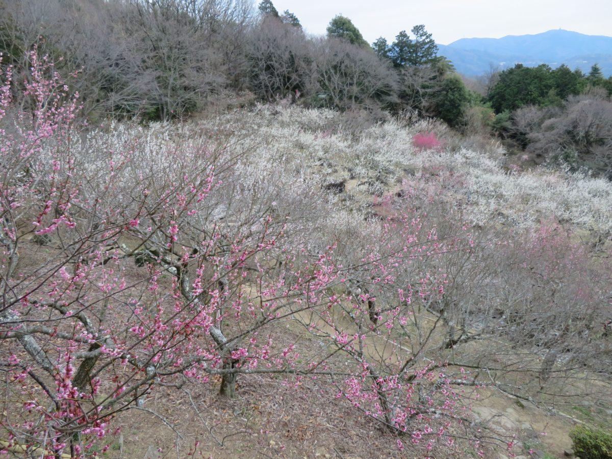 【筑波山梅まつり】筑波石とのコラボがユニークな梅林東部と水仙の花が愛らしく寄り添う西部