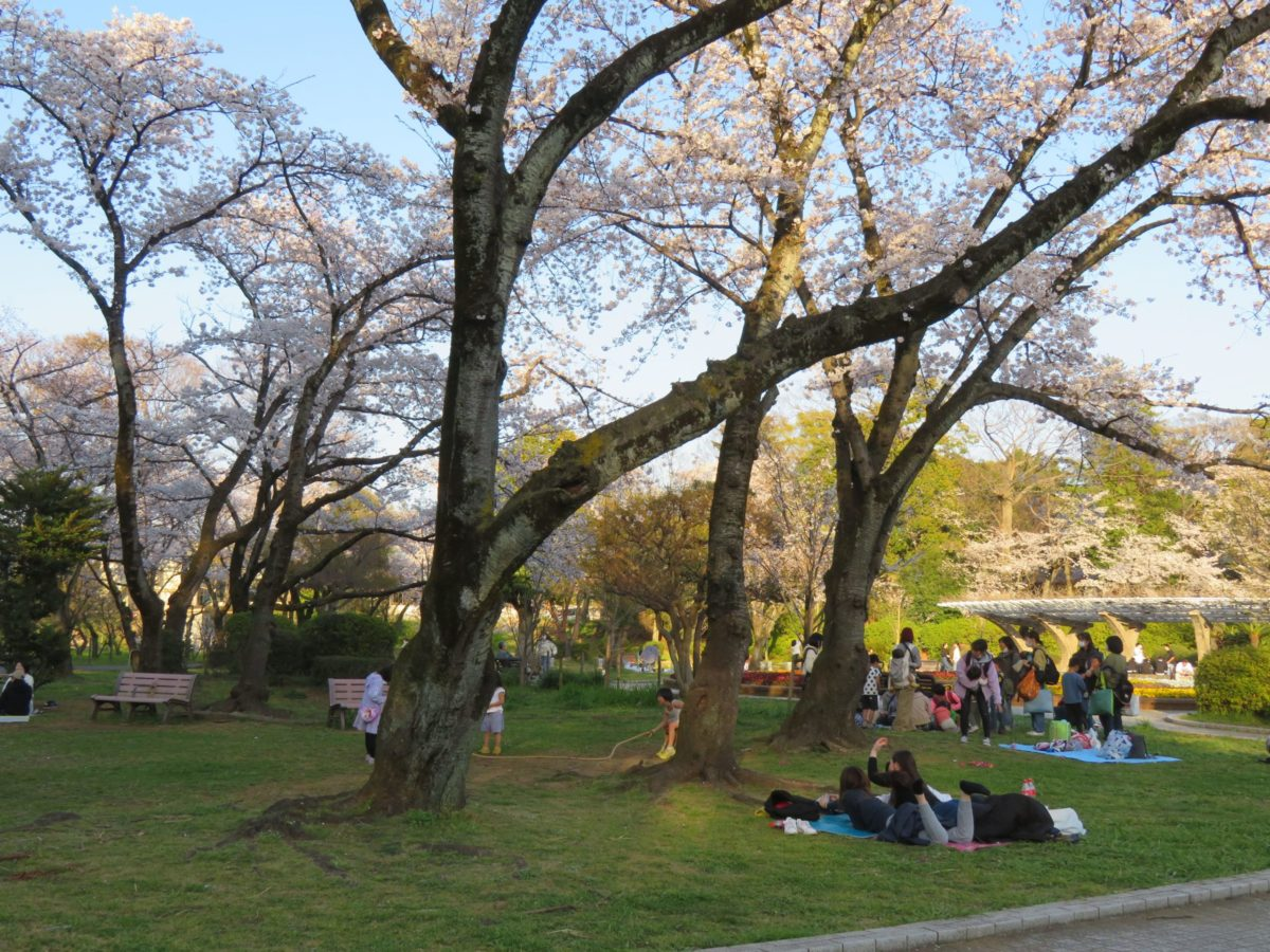 【里見公園桜まつり】江戸川東岸の市川市国府台の合戦現場を彩る桜