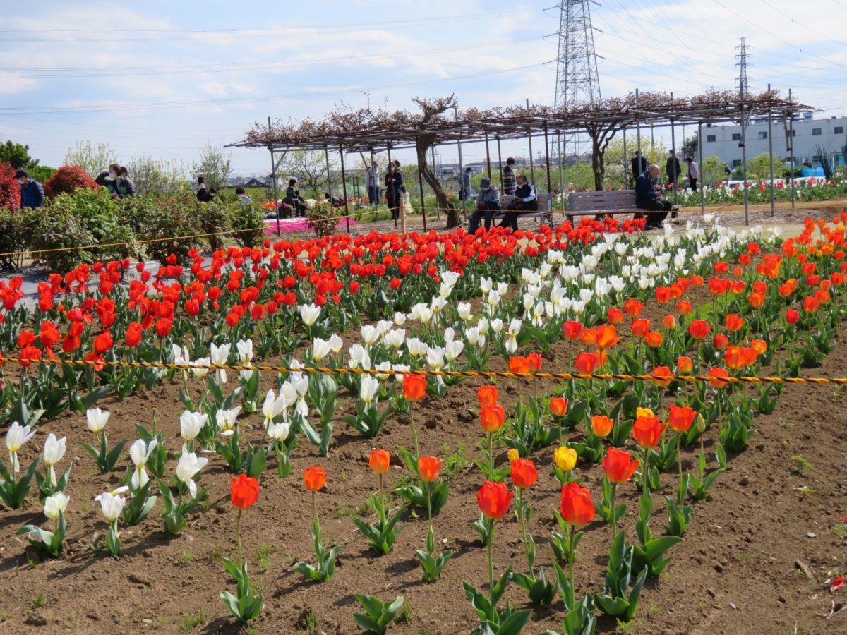 【花のオアシスフェア・チューリップまつり】色や形で個性を競う約4万の花々