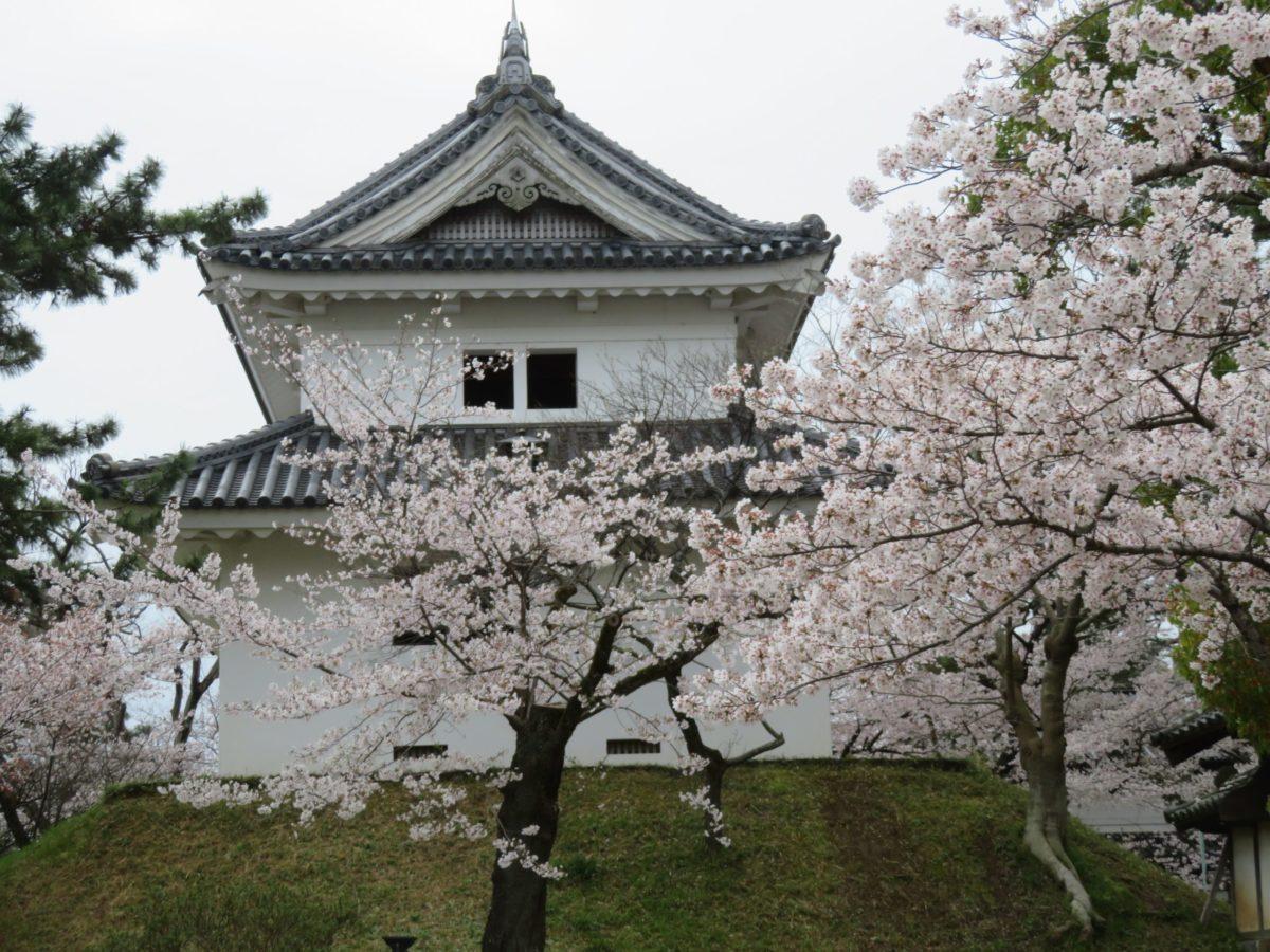 【土浦桜まつり】旧水戸街道沿いの城下町、宿場町を彩る亀城公園の桜
