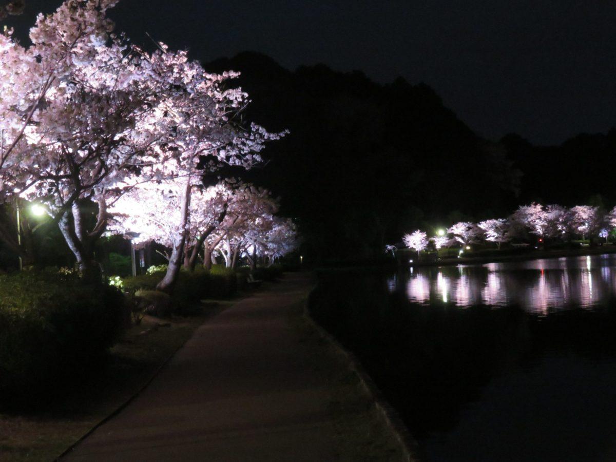 【水戸の桜まつり】夜間にライトアップされる千波湖を一周する遊歩道の桜並木