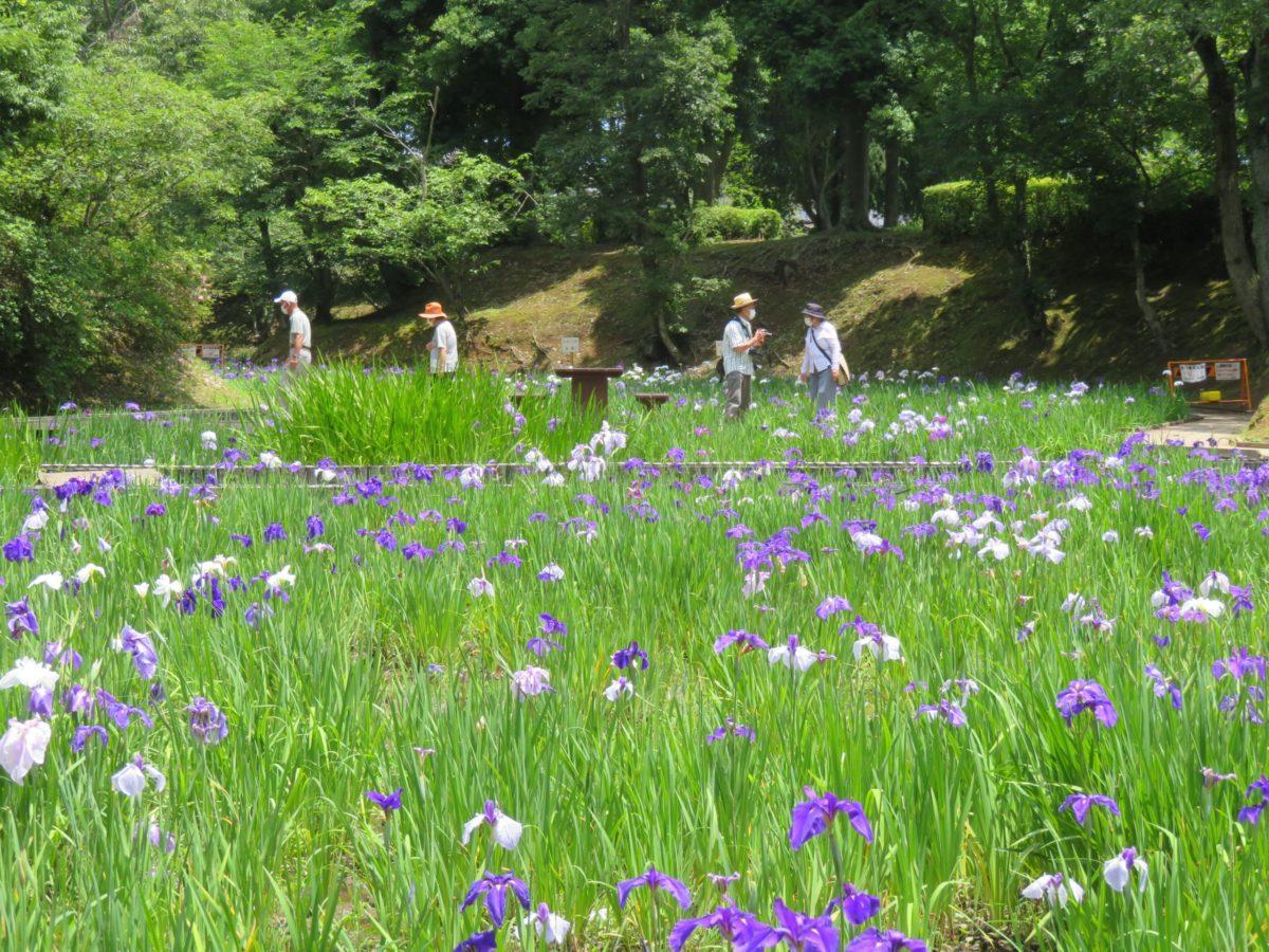 【ひたちなか花しょうぶ園まつり】古代遺跡の公園を彩る花しょうぶ