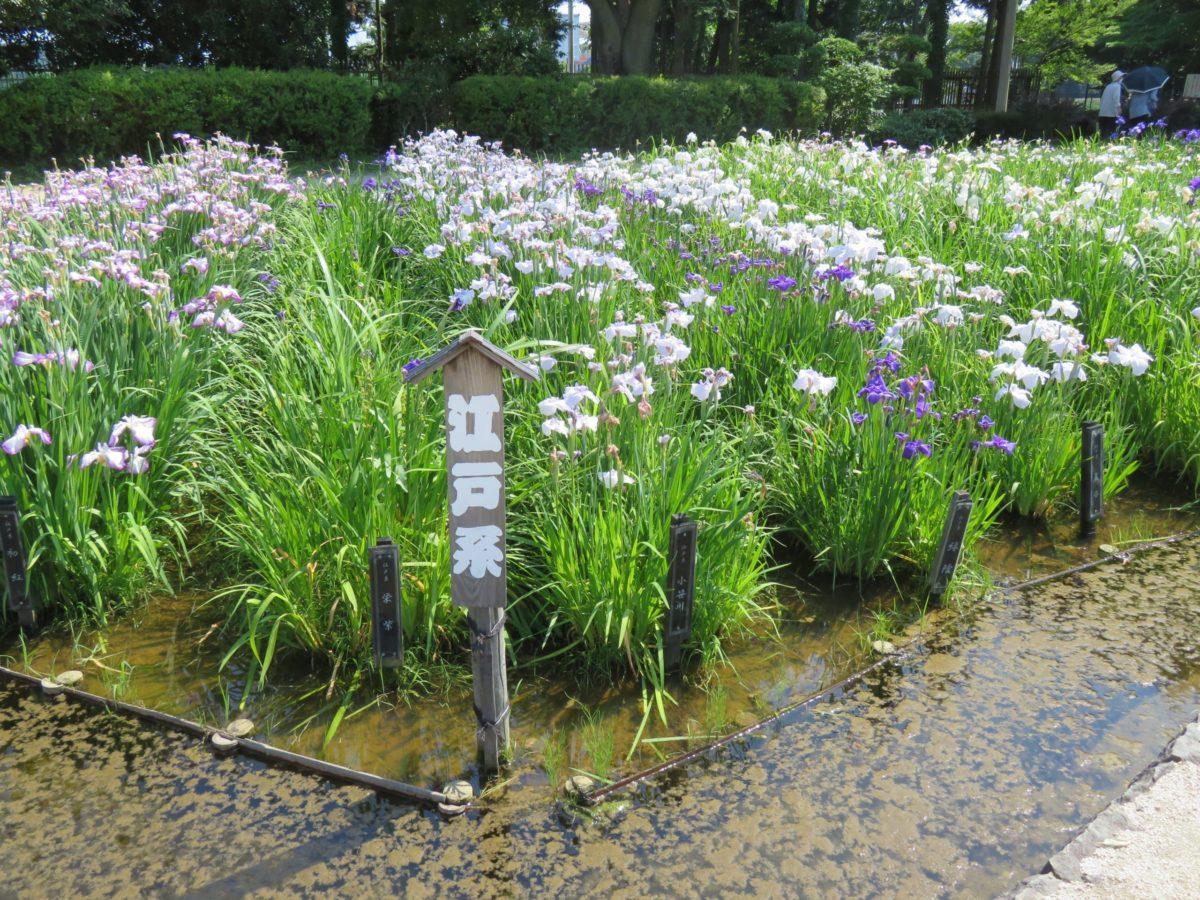 【相模原公園しょうぶまつり】多彩な花菖蒲に胸がときめく水無月園
