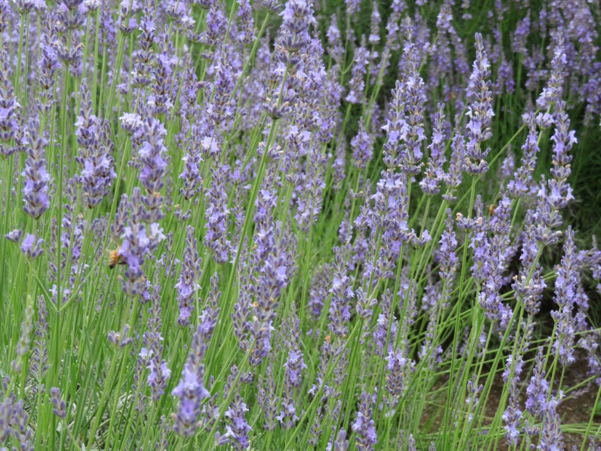 【みかもハーブフェスタ】栃木のラベンダーの花園を満たすアロマの香り