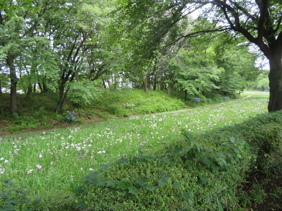 【赤堀花しょうぶ園まつり】中世の水の流れを覆う初夏色のグラデーション