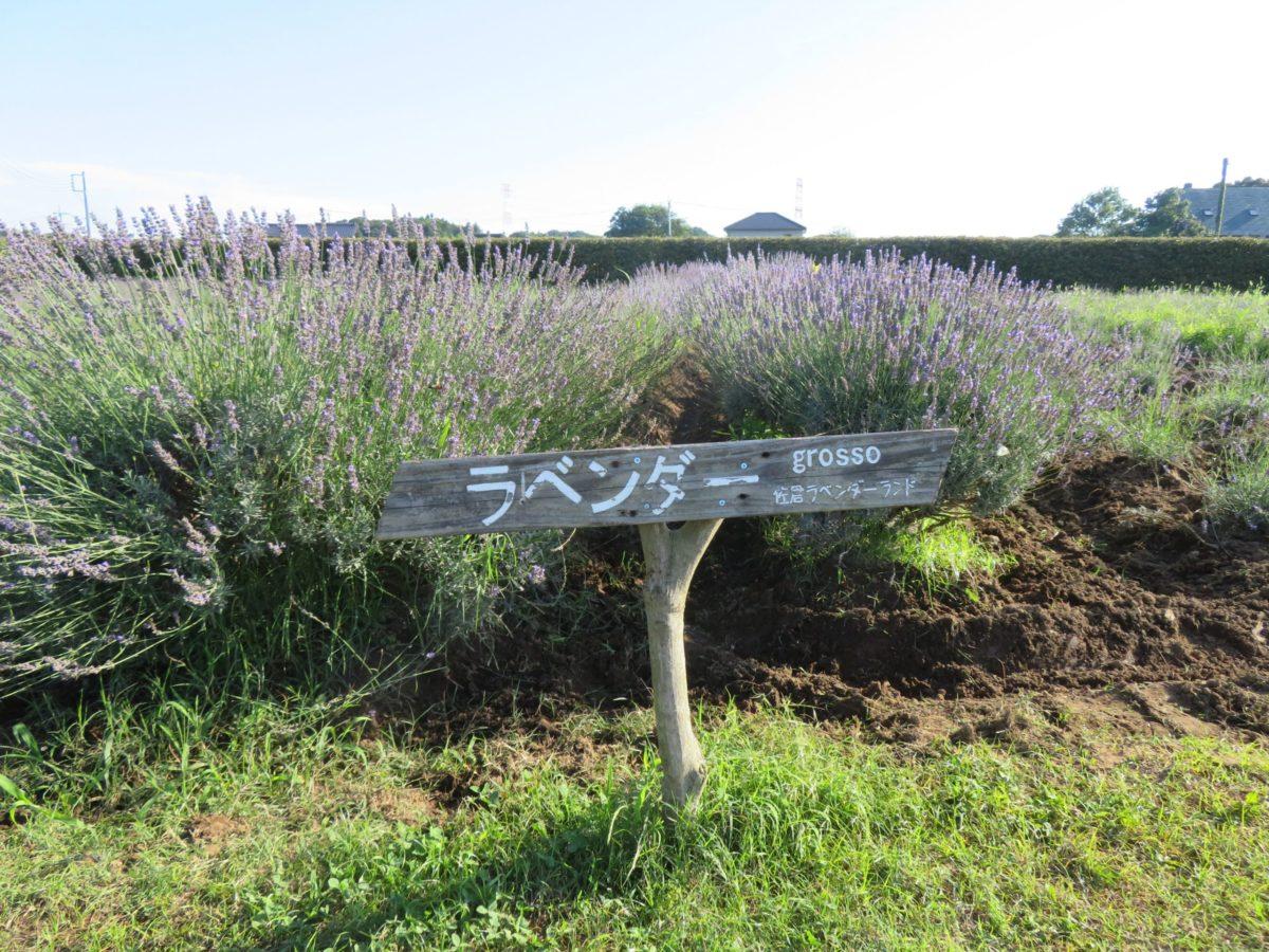 【佐倉ラベンダーまつり】濃紫早咲き、おかむらさき、グロッソの彩り