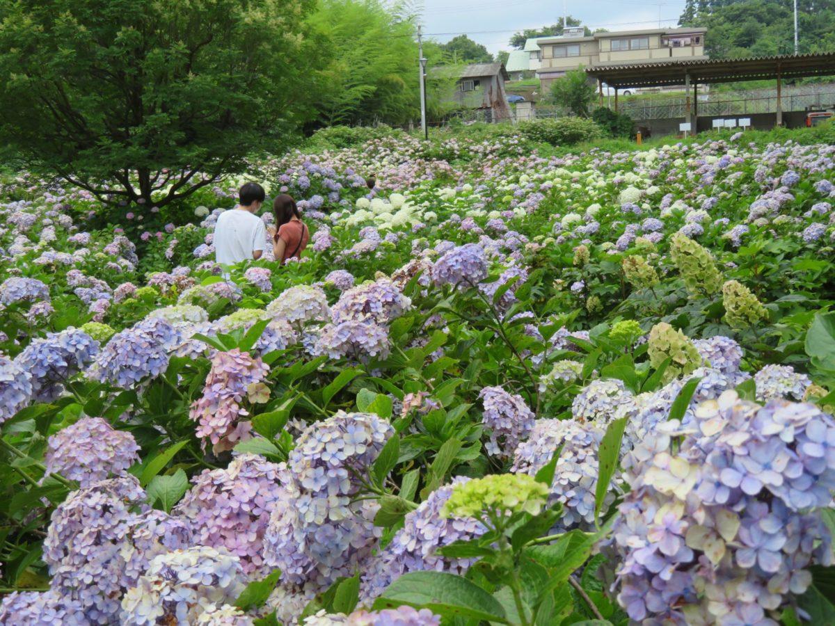 【荻窪公園アジサイまつり】前橋の赤城山南麓に建つ道の駅を包む初夏の彩り