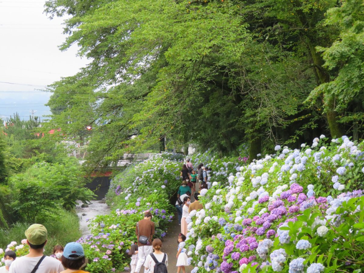【渋川あじさいまつり】平沢川の流れに彩りを添える小野池あじさい公園