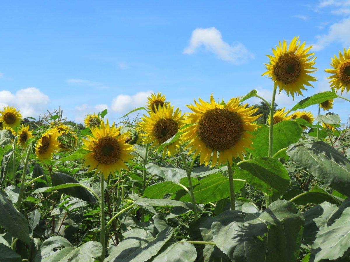 【ひまわりフェス】見渡す限り大輪の花が広がる成田ゆめ牧場に溢れる魅力