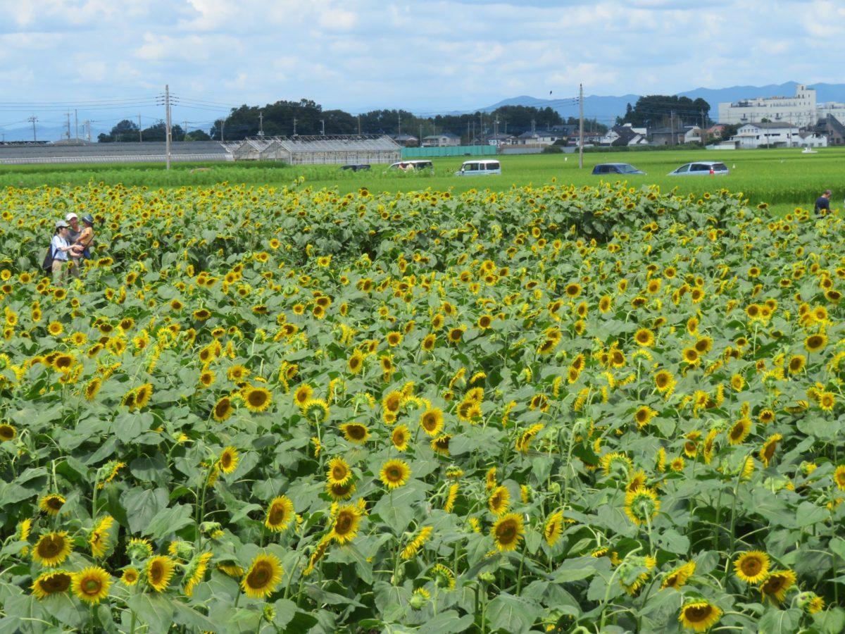 【野木町ひまわりフェスティバル】真夏のエネルギーを発散する大輪の花