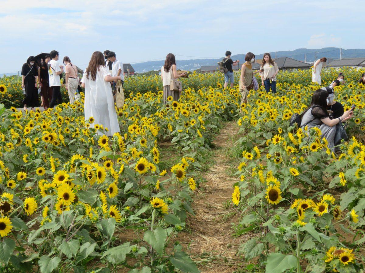 【ソレイユの丘】真夏のエネルギーを太陽に向かってはね返すヒマワリ