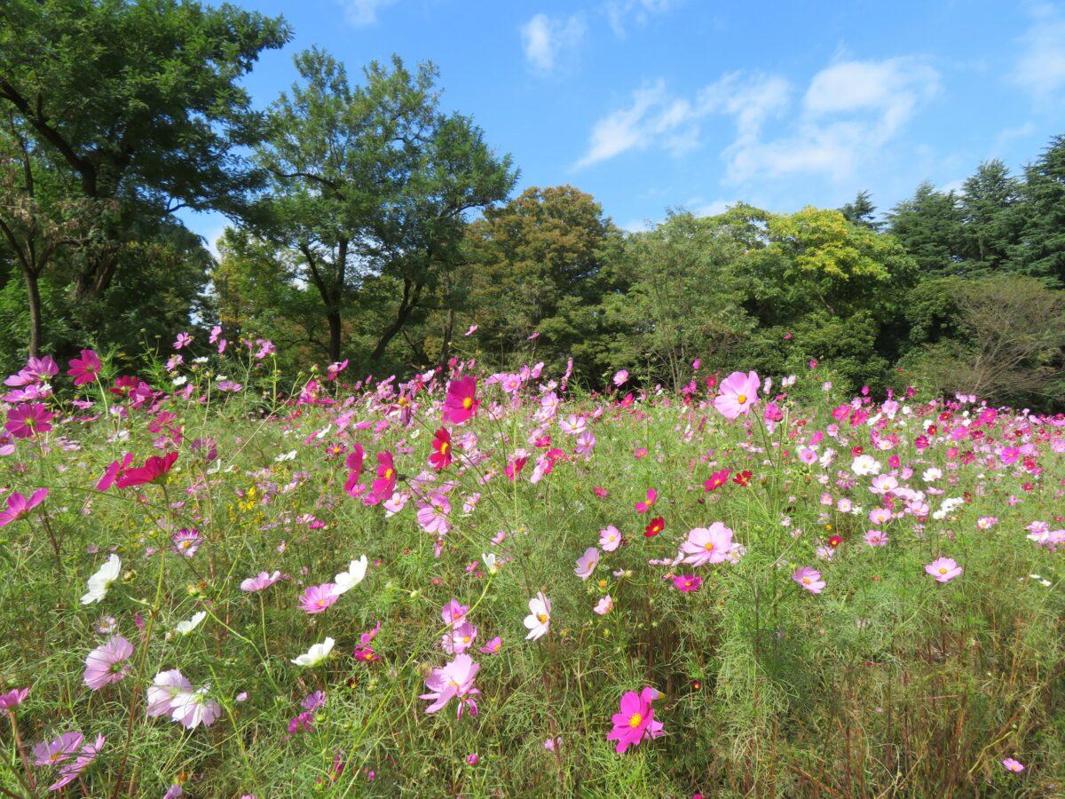 【小金井公園コスモスまつり】秋の彩りで包まれる玉川上水沿いの公園