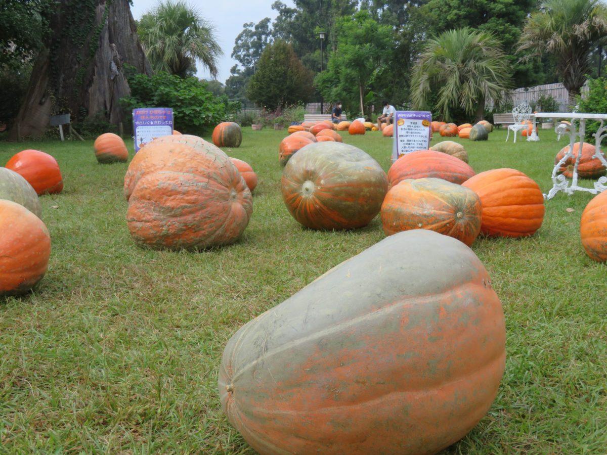 【ハロウィン・パーティー】おばけカボチャが転がる夢の島熱帯植物館