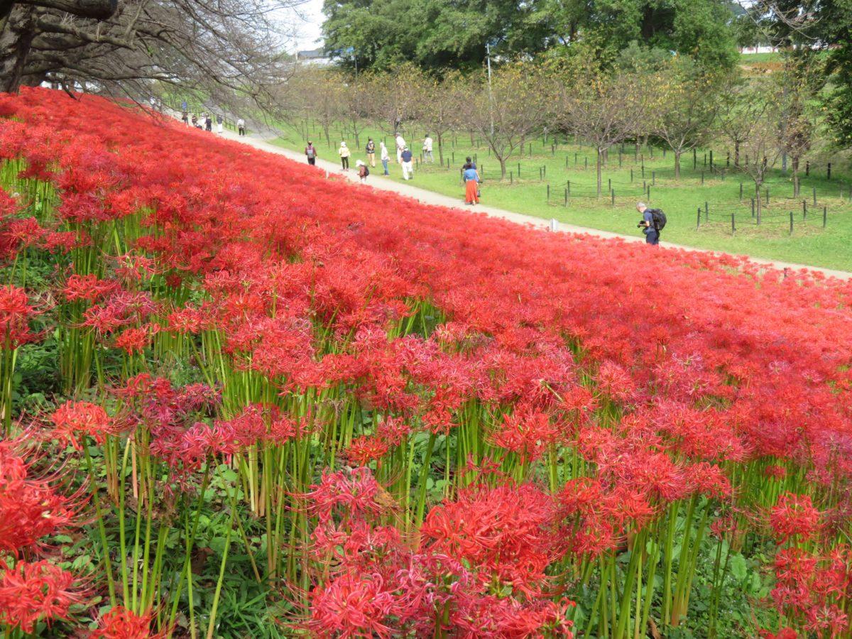 【幸手曼珠沙華まつり】真赤な絨毯を敷き詰めたような中川沿いの権現堂公園