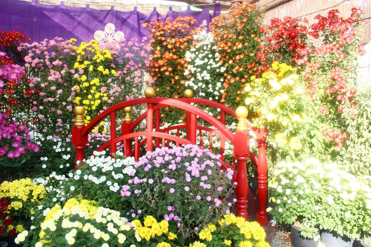 亀戸天神菊まつりで秋を感じよう!晴天の下、色鮮やかな菊が見られるお祭り