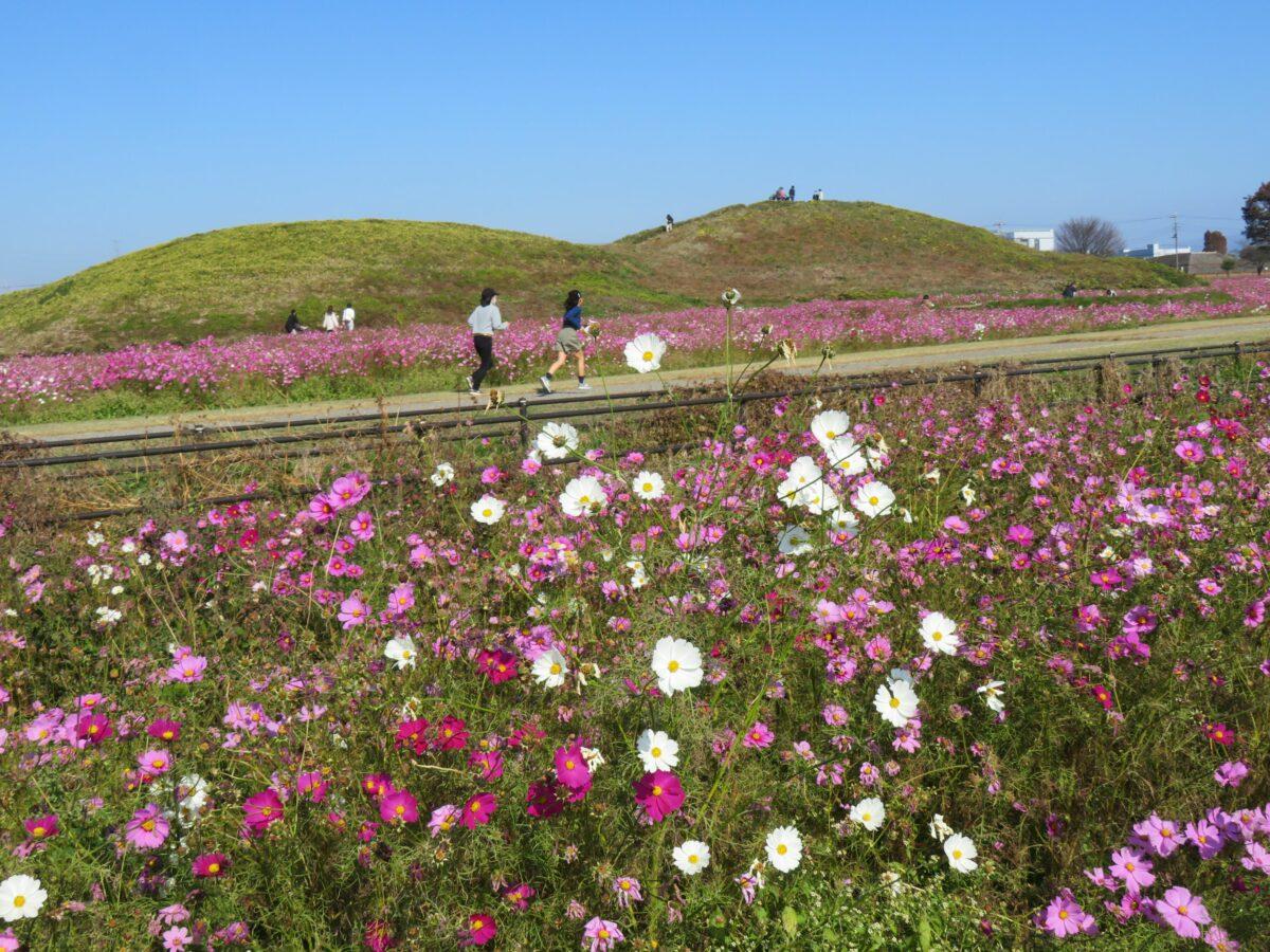 【はにわの里コスモスまつり】前方後円墳に眠る古代の豪族を悼む季節の花
