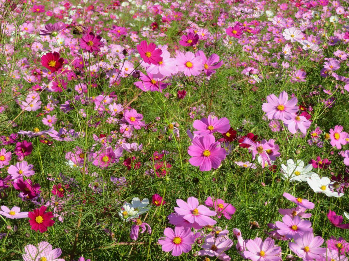 【くりはま花の国コスモスまつり】数種類の品種で長期間楽しめる秋の彩り
